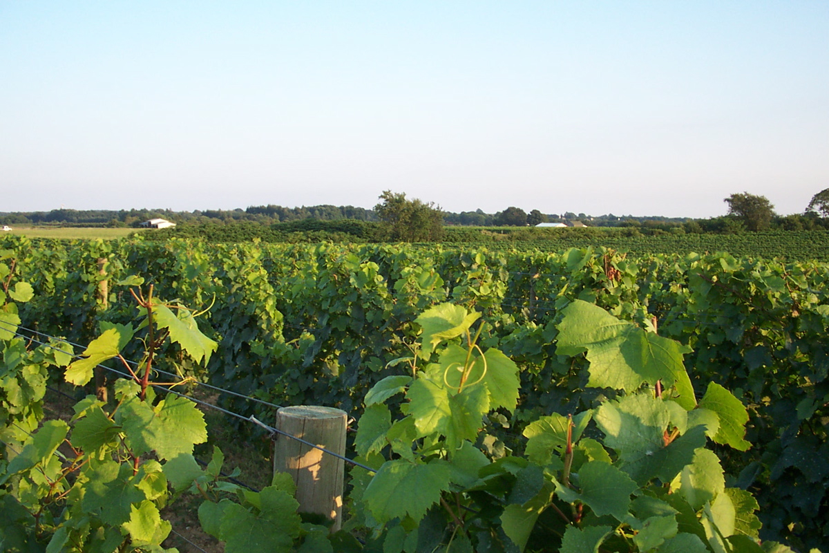 Cutchogue Vineyard